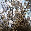 ナマズ釣り、梅の花が咲いていた 2017年2回戦