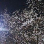 桜の時期のビッグリバー 2017年ナマズ4回戦
